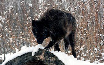 fotos-del-lobo-negro