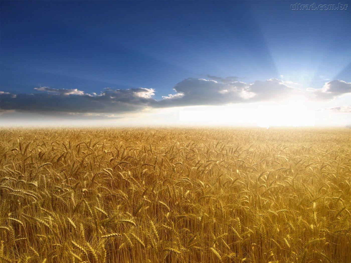 campos-de-trigo.jpeg